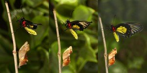 Emerging and metamorphosis of tropical Golden birdwing butterf